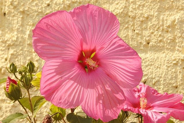 Hibiscus, Hibiscus Flower, Giant Hibiscus, Blossom
