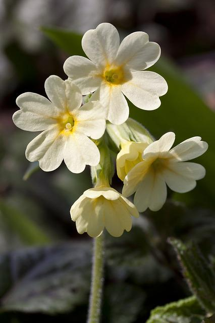 Cowslip, Harbinger Of Spring, Blossom, Bloom