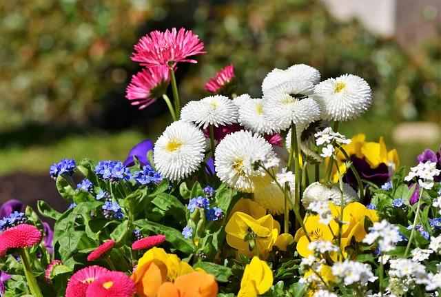 Daisy, Daisies, Harbinger Of Spring, Spring, Blossom