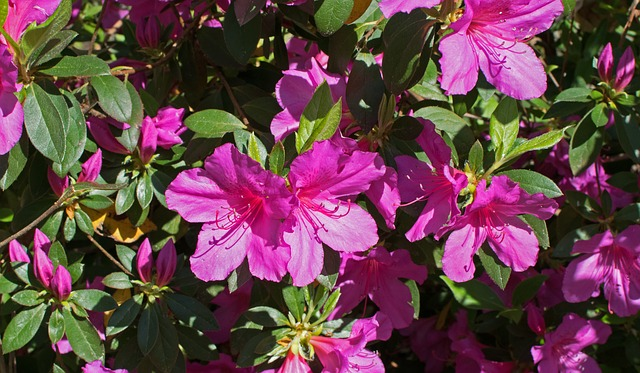 Hot Pink Azalea, Azalea, Flower, Blossom, Bloom, Shrub