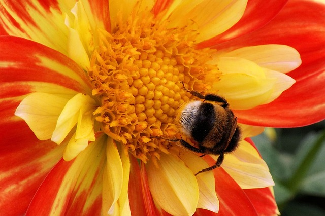 Flower, Blossom, Bloom, Dahlia, Hummel, Insect