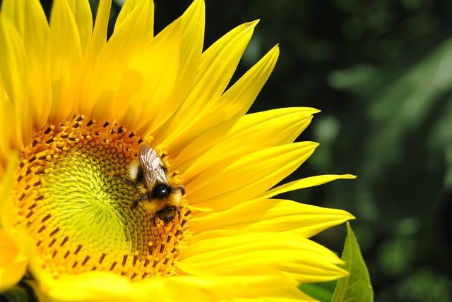 Close, Sun Flower, Hummel, Nature, Blossom, Bloom