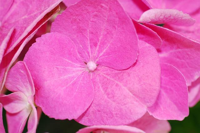 Plant, Hydrangea, Blossom, Bloom