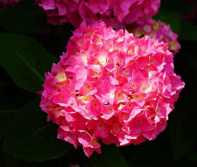 Flower, Blossom, Bloom, Hydrangea, Plant, Nature, Close