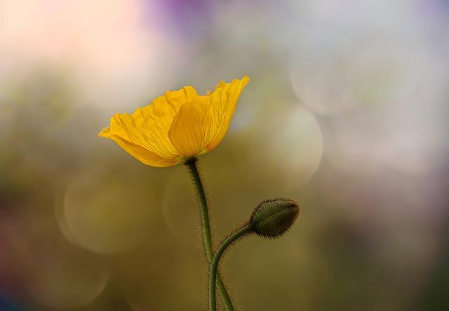 Poppy, Iceland Poppy, Mohngewaechs, Blossom, Bloom