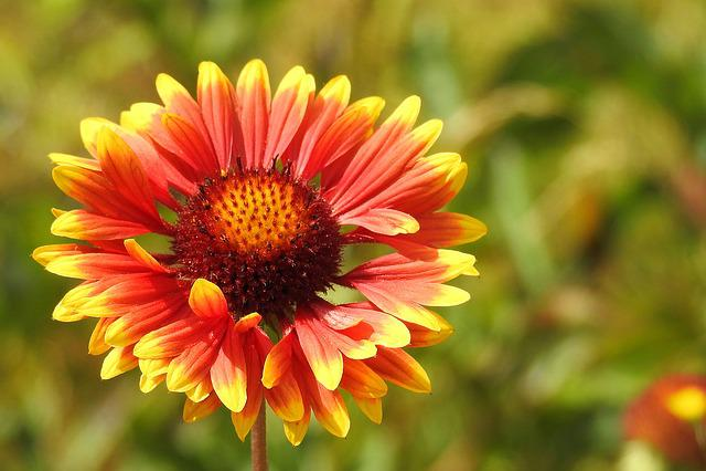 Karkardenblume, Composites, Blossom, Bloom