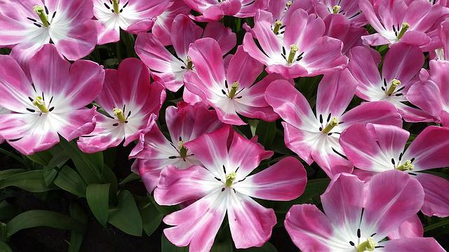 Flowers, Tulips, Pink, Holland, Keukenhof, Blossom