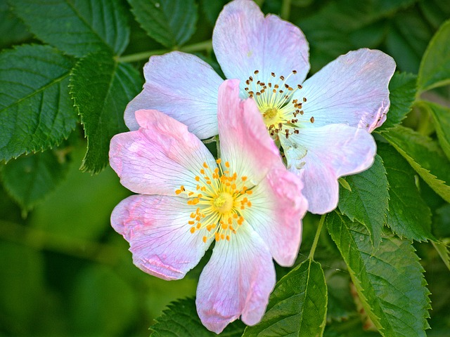 Blossom, Bloom, Wild Rose, Pink, Rose Family, Leaves