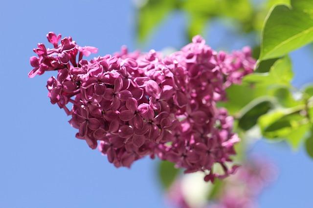 Lilac, Ornamental Shrub, Flowers, Blossom, Bloom