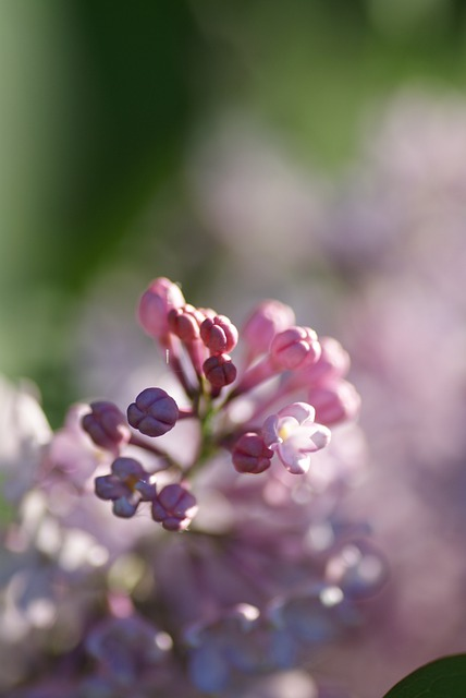 Nature, Bush, Lilac, Pink, Blossom, Bloom, Purple