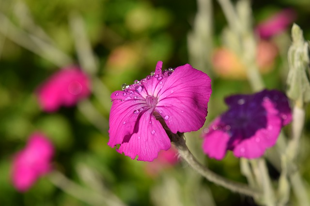 Crowns Campion, Lychnis Coronaria, Blossom, Bloom, Pink