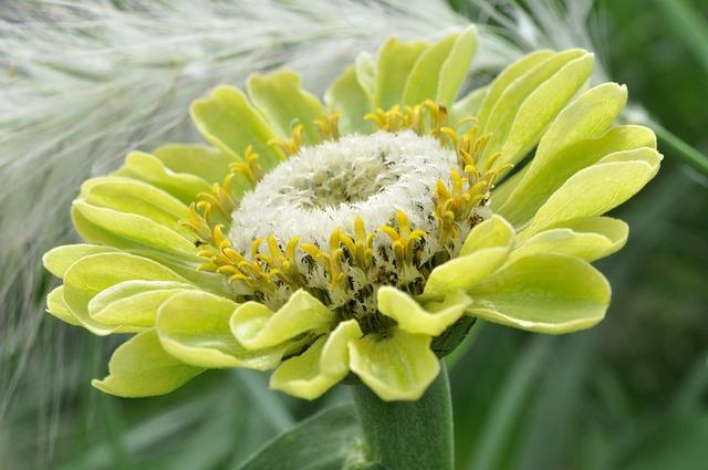 Blossom, Bloom, Dahlia, Macro, State Garden Show