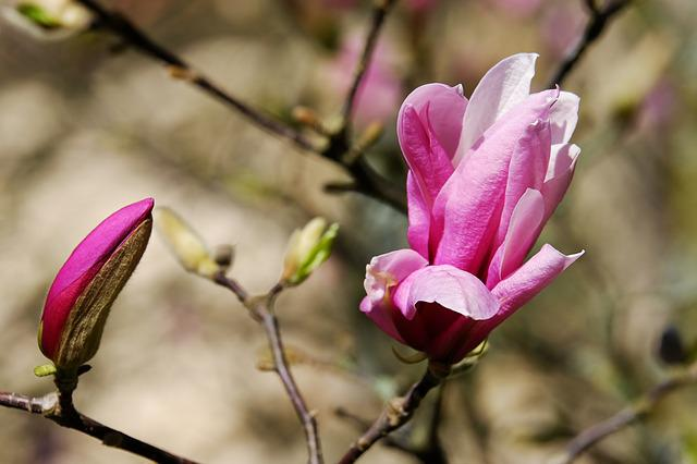 Magnolia, Magnolia Blossom, Blossom, Bloom, Purple
