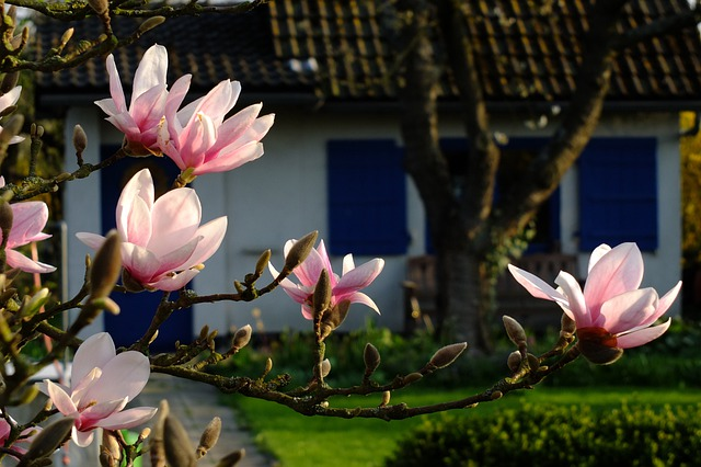 Magnolia, Flowers, Spring, May, Blossom, Bloom, Garden