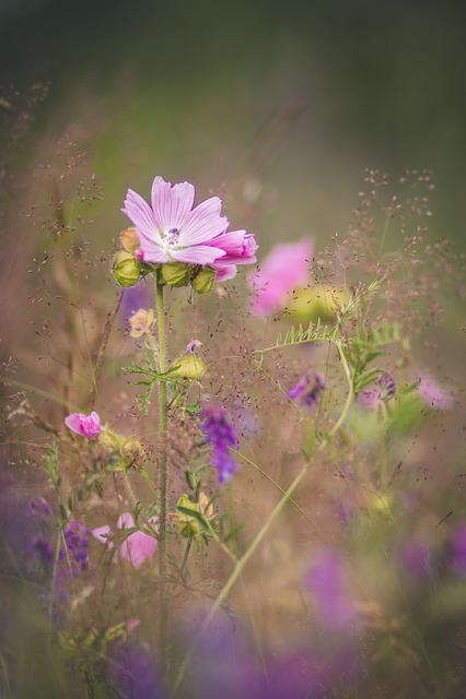 Flower, Mallow, Nature, Summer, Blossom, Bloom, Pink