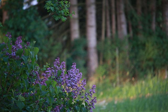 Nature, Lilac, Decorative Bush, Purple, Blossom, Bloom