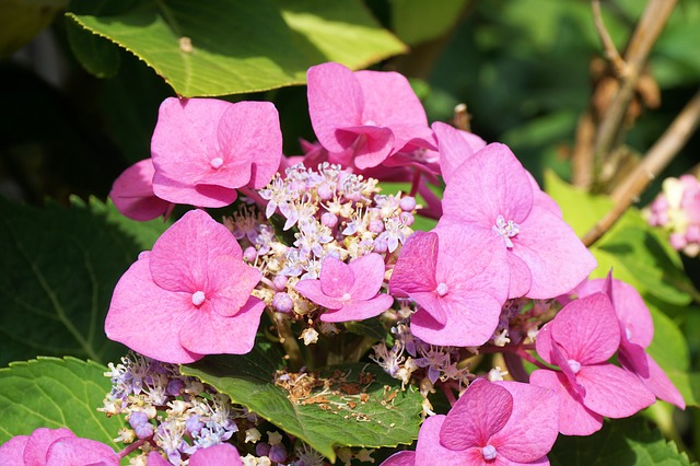 Hydrangeas, Flower, Blossom, Bloom, Nature, Garden