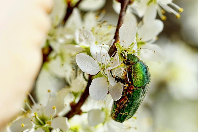 Blossom, Nature, Insect, Rose Beetle, Spring, Plant