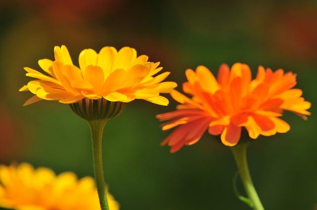 Nature, Flower, Marigold, Plant, Blossom, Bloom