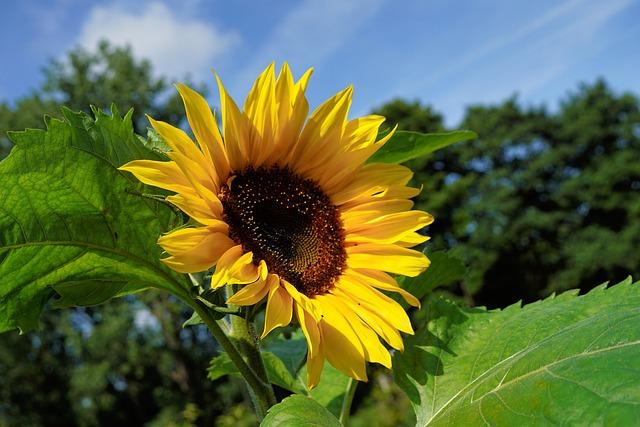 Garden, Flower, Sunflower, Blossom, Bloom, Nature