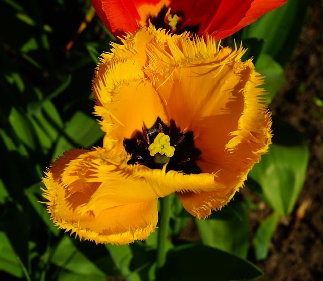 Flower, Blossom, Bloom, Tulip, Fransen, Yellow, Nature