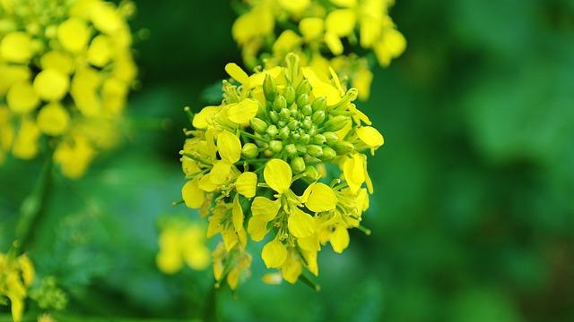 Rape Blossom, Oilseed Rape, Blossom, Bloom, Agriculture