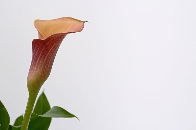 Calla, Blossom, Bloom, Flower, Plant, Nature, Orange