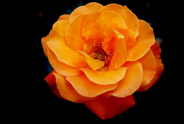 Rose, Bud, Blossom, Bloom, Rosebud, Orange Rose