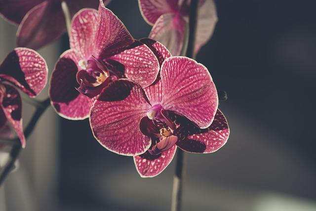 Orchid, Flower, Blossom, Bloom, Plant, Pink, Tropical