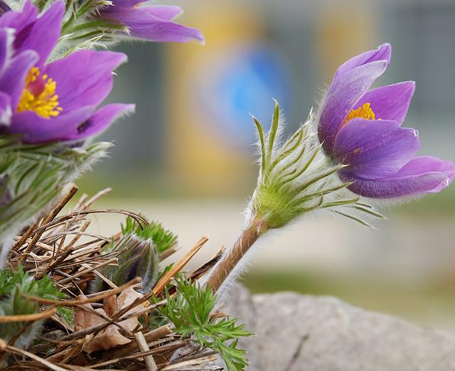 Pasque Flower, Pulsatilla Patens, Flower, Blossom