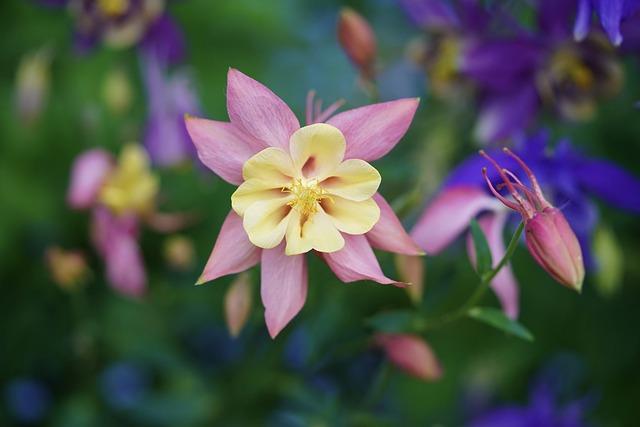 Columbine, Blossom, Bloom, Flower, Garden, Pink, Macro