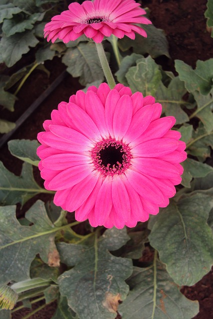 Pink Flower, Daisy, Blossom, Blooming, Gerbera, Bloom