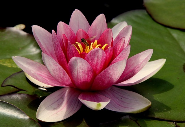 Flower, Water Lily, Lotus Flower, Blossom, Pond, Pink