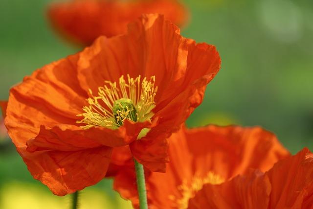 Poppy, Flower, Blossomed, Stamen, Pistil, Blossom