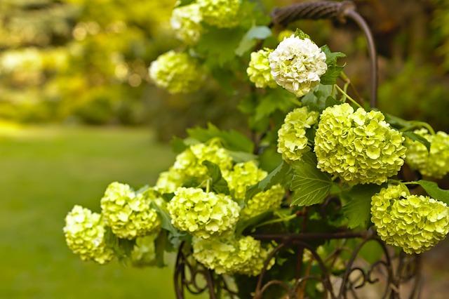 Snow Ball, Adoxaceae, Viburnum, Plant, Blossom, Bloom