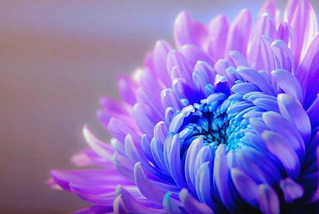 Chrysanthemum, Blossom, Bloom, Flower, Plant, Macro