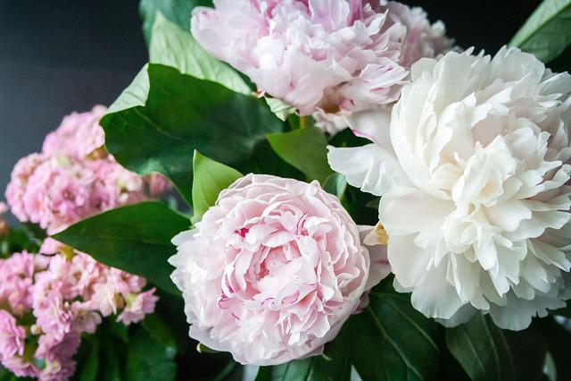 Flower, Peony, Blossom, Bloom, Plant, Nature, Flora