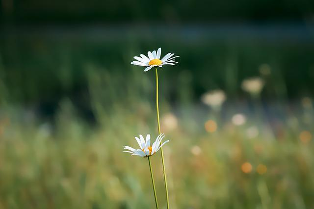 Marguerite, Meadow Margerite, White, Plant, Blossom