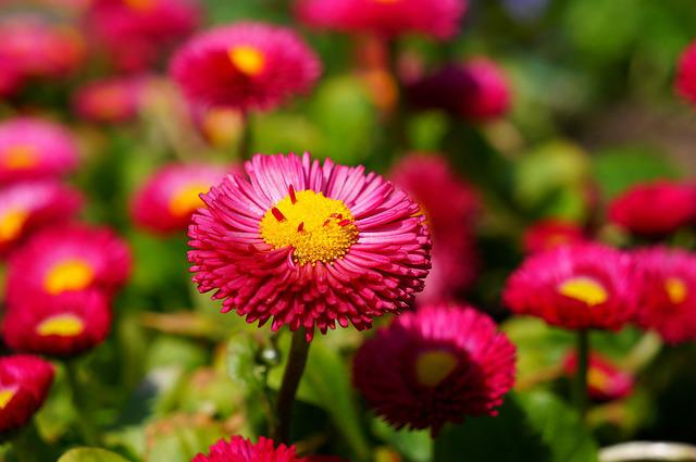 Daisy, Red, Flower, Blossom, Bloom, Plant, Color
