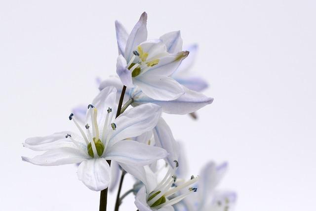 Blue Star, Plant, Blossom, Bloom, Flower, Scilla