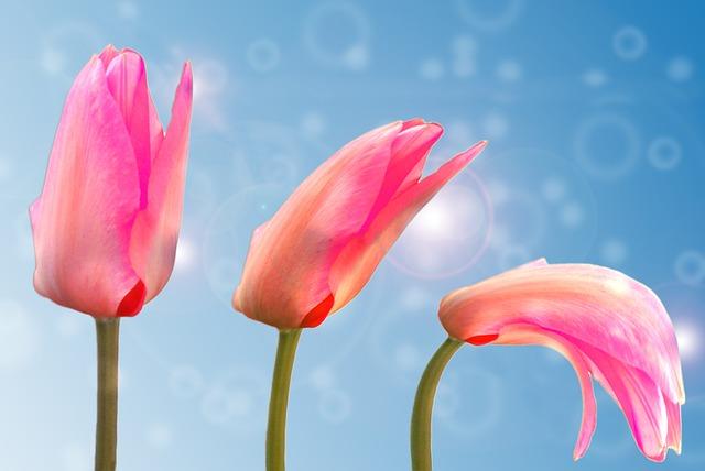 Tulip, Plant, Blossom, Bloom, Nature, Spring, Garden