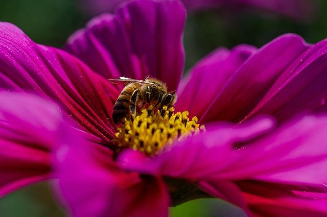 Cosmos, Kosmee, Blossom, Bloom, Bee, Nectar, Pollen