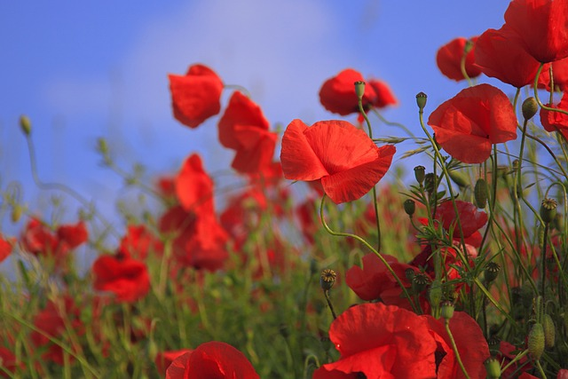 Flowers, Poppies, Meadow, Red Flowers, Bloom, Blossom
