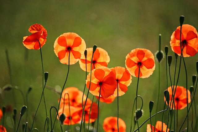 Poppy, Flower, Klatschmohn, Poppy Flower, Blossom