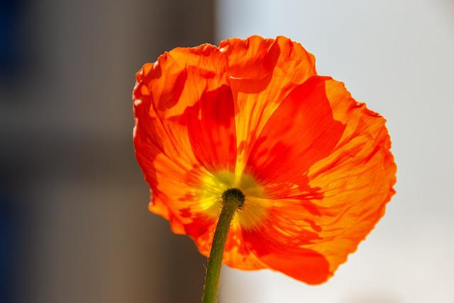 Klatschmohn, Plant, Nature, Flower, Poppy, Blossom