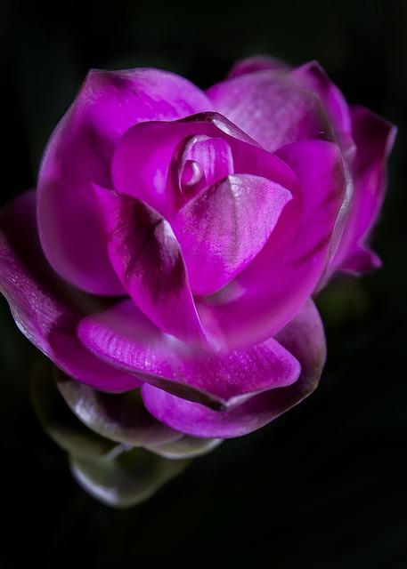 Curcuma, Violet, Blossom, Bloom, Close, Purple