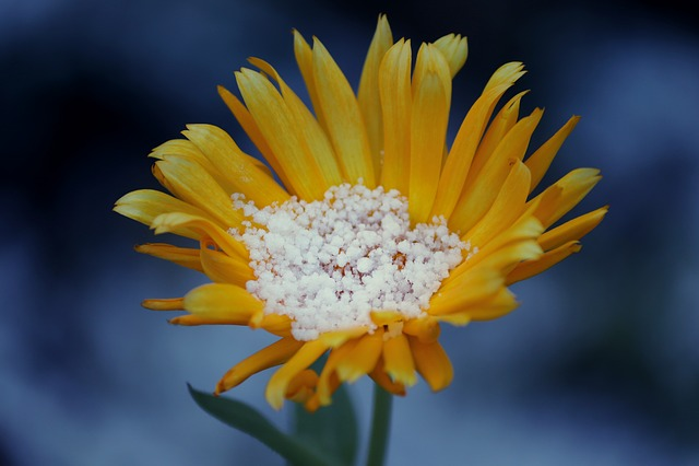 Arnica, Arnica Montana, Blossom, Bloom, Snow, Ripe
