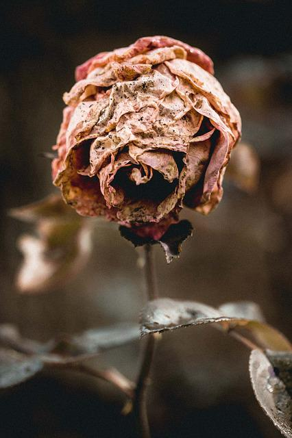 Flower, Rose, Nature, White, Floral, Romantic, Blossom