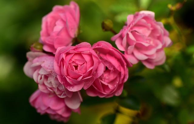 Rose, Bush Rose, Nature, Flower, Bloom, Blossom, Bloom