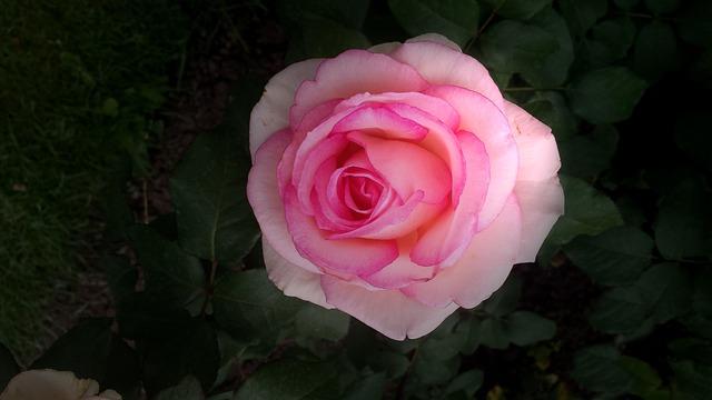 Rose, Floribunda, Blossom, Bloom, Rose Blooms